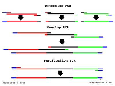 Overlap extension polymerase chain reaction for Pcr template amount