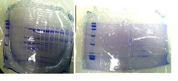032812 protein gel.JPG