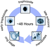 Life cycle of the malarial virus, Plasmodium vivax. The virus, once transferred to a host human through a carrier mosquito, enters hepatocytes in the liver as a trophoziote. Within an hour, the virus can produce hundreds of daughter cells asexually. Image from [Wikipedia Commons].