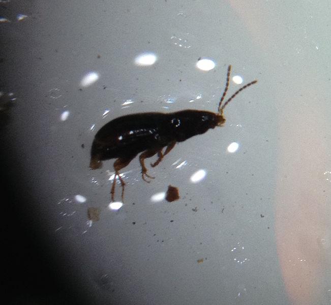 File:Beetle.jpeg