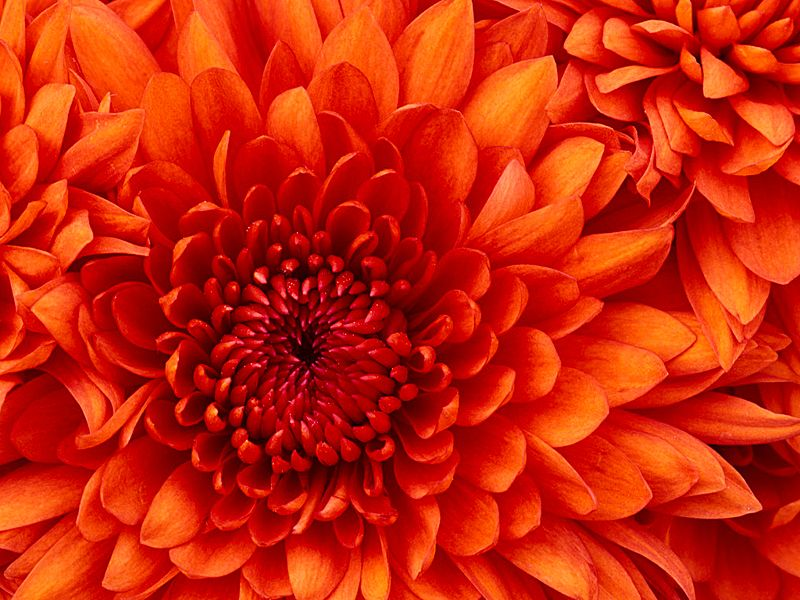 File:Chrysanthemum123.jpg