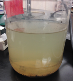 The above image is of the Hay infusion culture as it appeared just before samples of the culture were taken for observation. The top of the culture is lighter in color than the bottom; most of the plant matter and sediments are in the bottom of the culture. The culture is opaque, and only allows limited amounts of light to filter through the liquid.