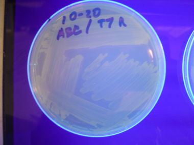 Figure 4: T7 RNAP colonies that contain the HPP-A0 control plasmid demonstrated the expected yellow fluorescence.
