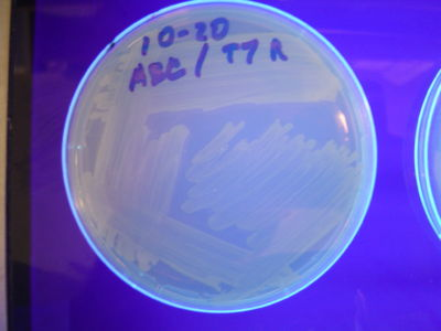 Figure 5: HPP-A0 - These colonies fluoresced yellow