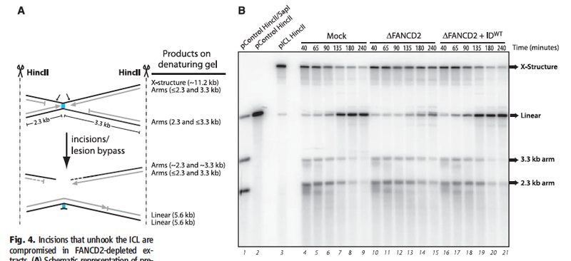 File:Figure 4AB pICL repair by FANCD2-FANCI complex.jpg