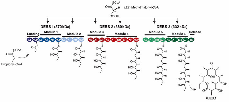 The DEBS polyketide synthase (PKS) which catalyzes the intracellular production of 6-dEB.(Source: Pfeifer BA, et al. Science. 2001 Mar 2;291(5509):1790–2.)
