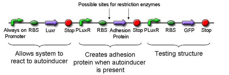 File:Inducible Cellular Adhesion Gene.JPG