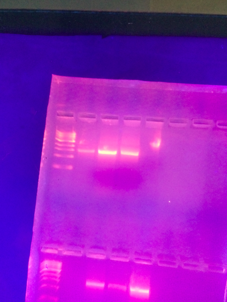 File:Results from PCR.png