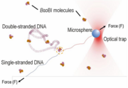 Probing protein-DNA interactions by unzipping single DNA molecules with optical tweezers.