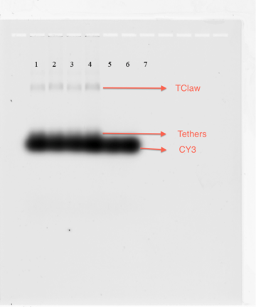 Figure 19-TClaw and CY3 pre-Sybr Gel. Figure 19 shows the same gel image as Figure 18 before staining with Sybr. CY3 strand has a lower LOD than the HEX strand used in the previous trials. In this figure we can clearly see that CY3 is binding to tether, and tether is binding to claw. Little polymerization indicates that there is less aggregation between the claws.