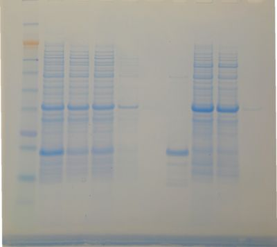 Denaturing PAGE of ~13kD His tagged protein purified via this method.
