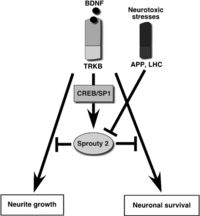 Involvement of Spry2 in neuronal survival and differentiation.