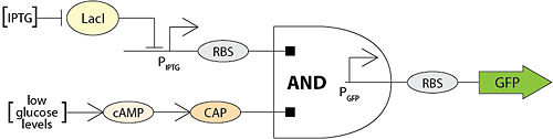 AND gate logic gene toggle switch. IPTG and low glucose levels conditions must be met in order for GFP production