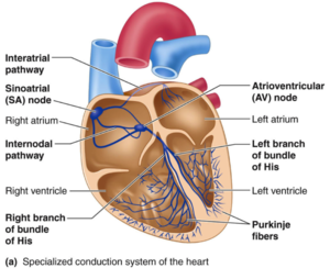 Pacemakers by denise buciuman coman openwetware cardiac conduction system ccuart Choice Image