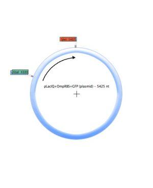 PLacIQ-OmpRBS-GFP (plasmid).jpg