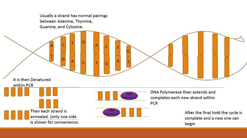 File:PCRDNA.jpg