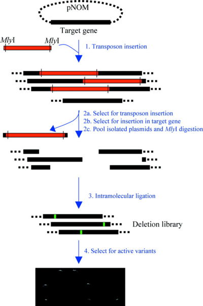 The Random Insertion-Deletion method reported by Jones [39, 40]. A transposon based insertion places a marker along with two MlyI sites into the target gene in a random location. Cleavage by MlyI and religation removes the marker cassette leaving an insertion or deletion depending on the design of the sequence. Image taken from [39] Nucleic Acids Research, 33, e80, 2005 under the Open Access license.