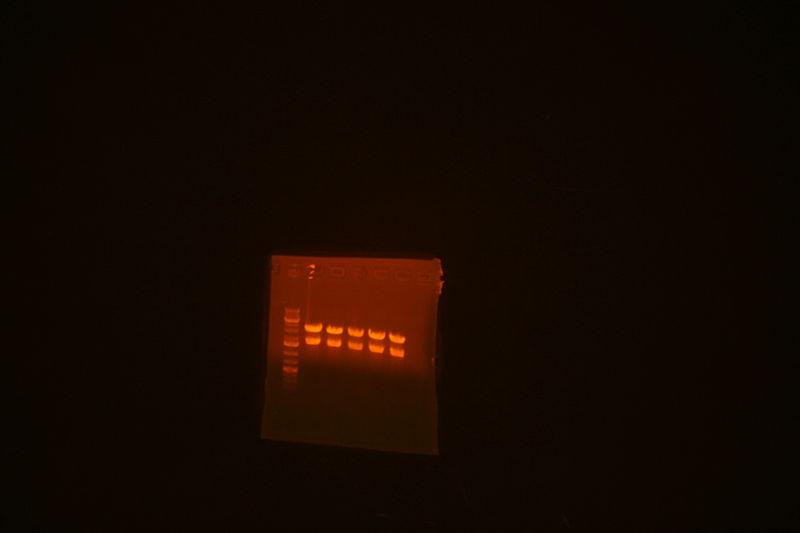 File:8-8 ecobam transfer of mgfp pbca9495.jpg