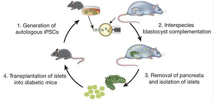 Rats as Animal Models in Tissue Engineering - OpenWetWare
