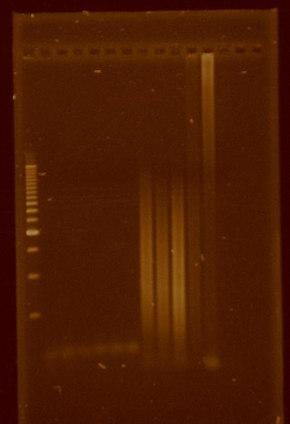 File:Dramirez PCR Taqplatinum Sohlenkampgradient.jpg