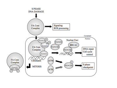Fanconi anemia (FA) protein pathway.  The FA core complex localizes to chromatin during the S phase and in response to DNA damage.  Within the core complex, both FANCA and FANCG are phosphorylated (P).  In the presence of an intact core complex, FANCD2 is monoubiquitinated (Ub) on K561 and colocalizes in nuclear foci with BRCA1, where it carries out its roles in DNA repair and/or cell cycle control.  FANCD2 is a phosphorylation target of kinases ATM and perhaps ATR, a phosphorylation that is necessary to maintain the S-phase checkpoint.  At mitosis, FANCG is phosphorylated, and the core complex is excluded from the nucleus and condensed chromatin.