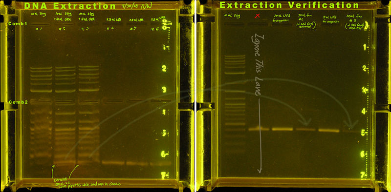 File:20080730-homemade clonewell dna extraction UVverify.annotated.jpg