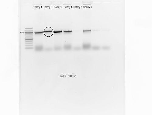 Pc-TF Ligation.jpg