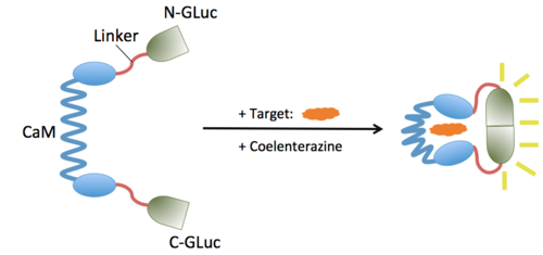 The GLucCam Protein Schematics