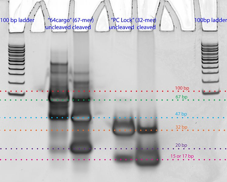 File:Photocleavage test 1-annotated.jpg