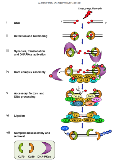 "NHEJ pathway overview from GJ Grundy et al., ""One ring to bring them all—The role of Ku in mammalian non-homologous end joining"" in DNA Repair 2014 TBD, in press"