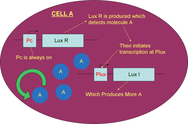 Figure 6.  Part diagram of cell A (prey producing cell) using a constitutive promoter and positive feedback