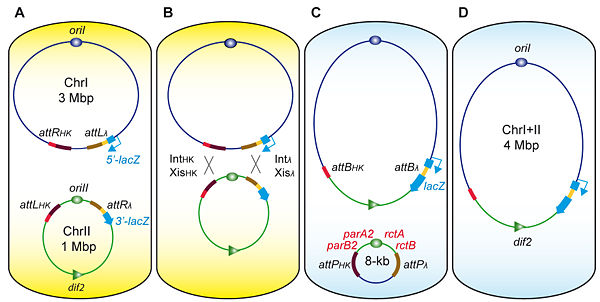 site-specific recombination-based engineering tool to massively reorganize V. cholerae's genome
