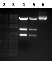 Fig 1. Gel image of the digested pMS82. Lane 1 and 2 are 1Kb+ ladders, and lanes 3 and 4 are the digested plasmid. Lane 5 is a control of undigested pMS82. The lower band in lanes 3 and 4 is the excised neomycin gene, but the band above that is unknown.