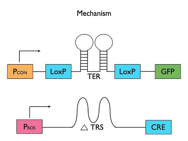 IGEM Mechanism.jpg