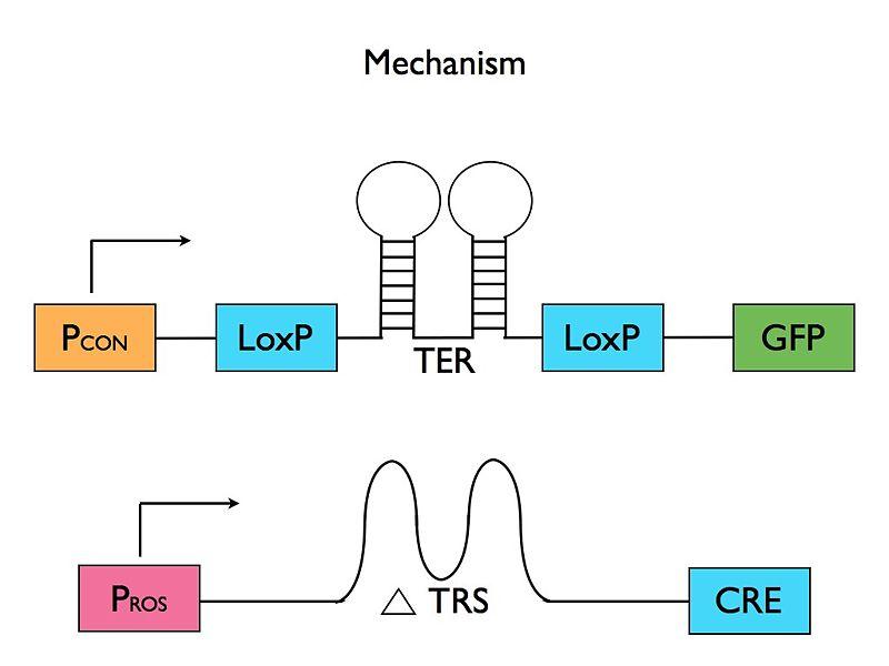 File:IGEM Mechanism.jpg