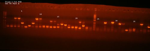 Stage 1 Col PCR Gel 2 Part A.jpg