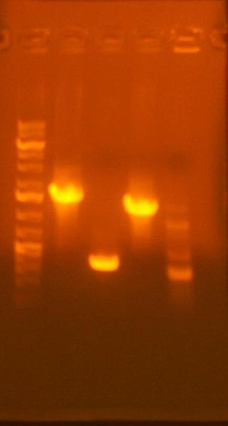 Image:7-17 col pcr assembly.jpg