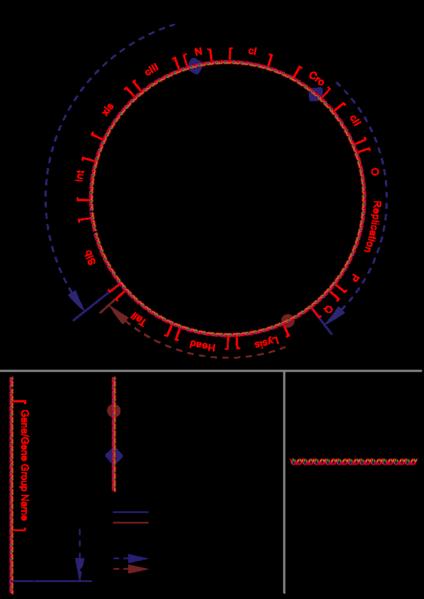 File:Bacteriophage lambda genome.png