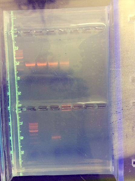 File:Gel electrophoresis transect 2.jpg