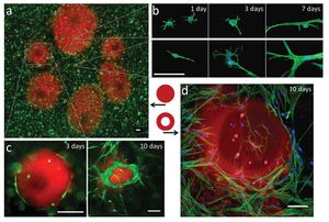 Fig. 9: Photopatterning of cell-laden Pluronic–fibrinogen hydrogels infl uences in situ cellular morphogenesis. GFP-expressing fibroblasts are cultured within a physically crosslinked hydrogel of Pluronic–fibrinogen with rhodamine-labeled Pluronic F127-acrylate (red) co-immobilized in regions of chemical crosslinking (a). The cells (in green) orient at the interface between the stiff regions (in red) and the softer regions (in black). Different exposure times are shown in (a) to demonstrate the effects on the cell behavior and pattern size. Fibroblasts grown in control hydrogels (not patterned) with physical–chemical crosslinking (b, top) or physical crosslinking alone (b, bottom) exhibited different time-dependent morphological features, which were consistent with their respective environments in the patterned system (the Supporting Information). The mechanical landscape of the Pluronic–fibrinogen hydrogels affects the cellular morphogenesis particularly at the interface between the stiff and soft regions, as indicated after 10 days in cultures with columnar patterns that are solid (c) or hollow (d). GFP-labeled cells (green) with rhodamine-labeled Pluronic F127-acrylate (red) are shown in (a,c); FITC-phalloidin (green) with DAPI nuclear staining is shown in b) and combined with rhodamine-labeled Pluronic F127-acrylate (red) in (d). Scale bars = 100 μm [23]