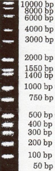 File:Bisc300-lab Hi-Lo DNA Marker.jpg
