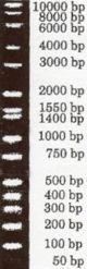 Bisc300-lab Hi-Lo DNA Marker.jpg