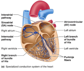 Cardiac Conduction System Reference 8