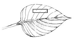 LeafSectionDiagram.jpg