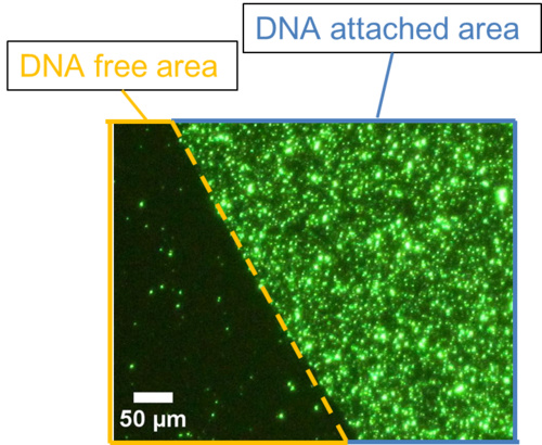 A fluorescent image of DNA ciliate gathering at the specific area