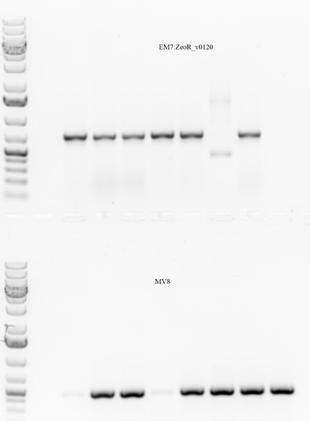 Image:2016-02-01 QuikChange colony PCR.tif