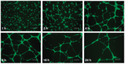 Figure 2. Fluorescence microscopy images of endothelial tube formation in Matrigel [26].