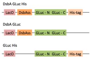 GLuc Plasmids Week2.png