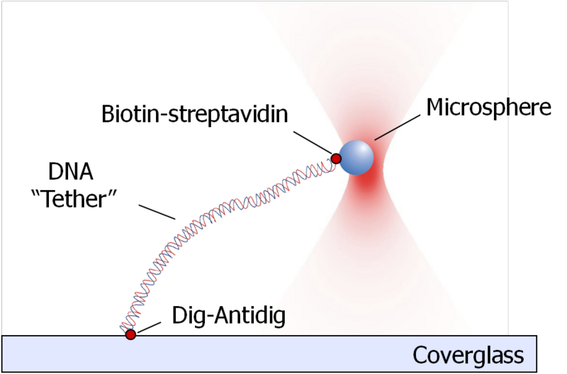 File:Glass-DNA-Microsphere Tether.png