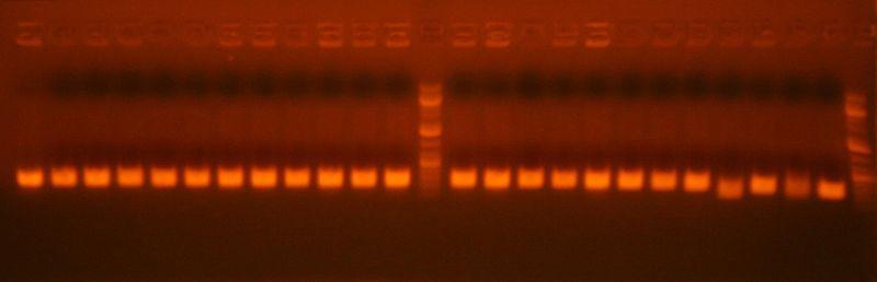 File:7-6 colony pcr pcr 2 ig239.jpg